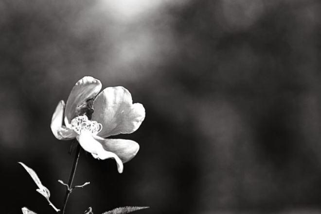 fiore-chiaro-scuro